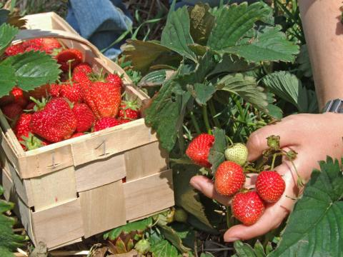 cueillette fraise ferme breto