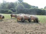 porc cul noir du Limousin